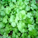 Coriander Seeds Grows Aromatic Leaves