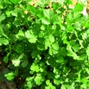 Open Pollinated Coriander Seed
