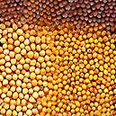 Mustard Seed With 10% Protein Content