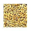 Contamination Free Barley Seeds