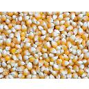 Hygienically Packed Maize Seeds