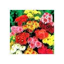 Colourful Chrysanthemum Flowers For Decoration
