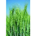 Rust Resistant Wheat Seeds