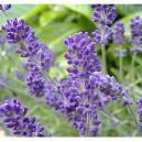 Lavender Flower With Good Medical Properties