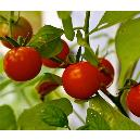Organically Cultivated Cherry Tomatoes