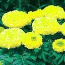Yellow Coloured Marigold Seeds