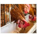 Hygienically Processed Poultry Feed