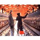 Veterinary Pharmaceuticals Spray For Poultry House