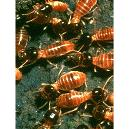 Hygienically Processed Termite Repellent