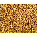 Hygienically Packed Yellow Barley