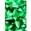 Hygienically Processed Peppermint Oil