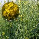 Agricultural Purpose Mustard Seed
