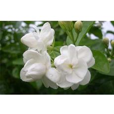 Fresh Cut Jasmine Flower